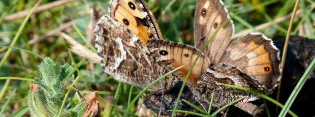 Grayling butterflies